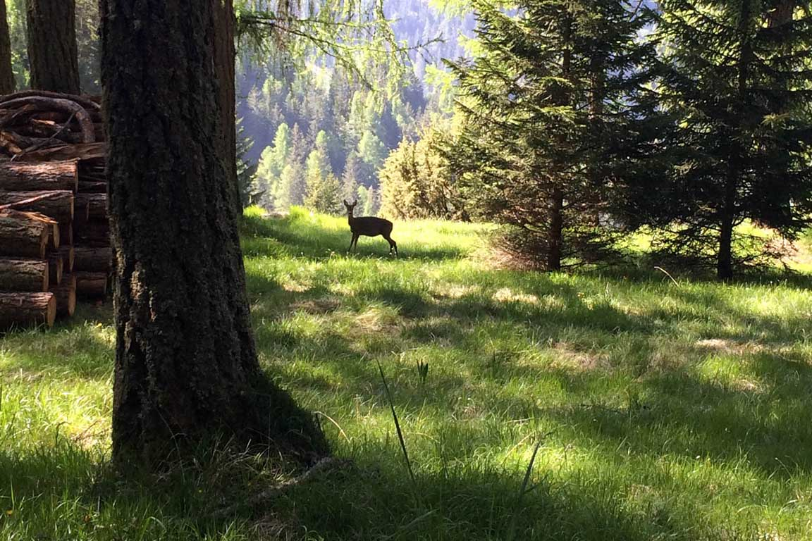 A deer in the woods in Val Gardena