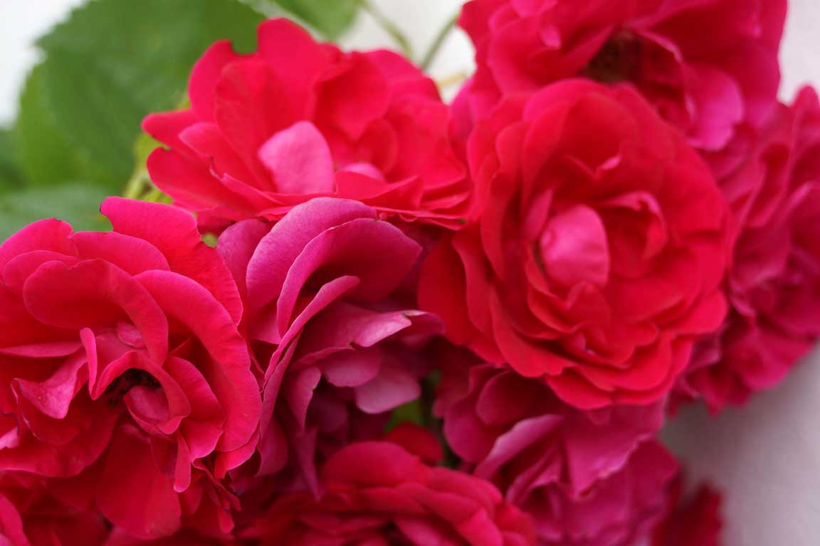 Red roses in our garden
