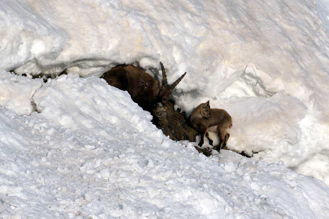 Alpine ibex underneath the south face of the Marmolada